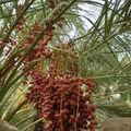 Dattier à Al Ain, aux Emirats Arabes Unis