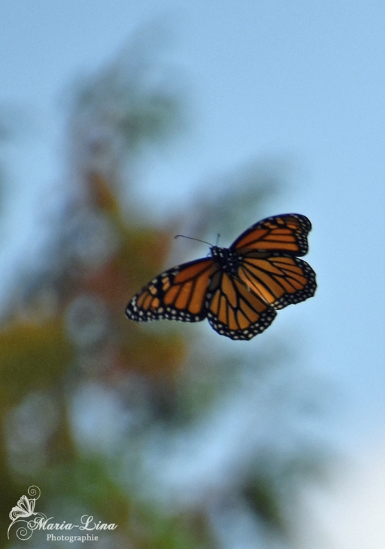 papillonpleinvol