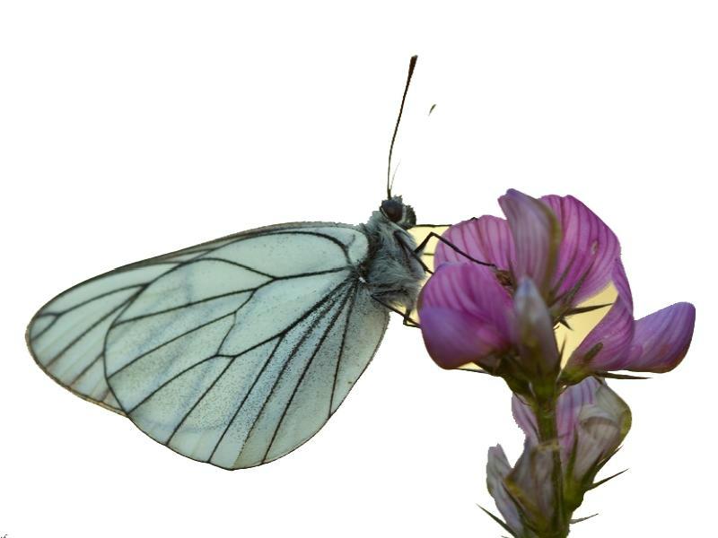 -les-papillons