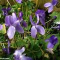 La violette, longtemps cultivée pour son parfum…
