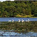Lac Cygnes et Héron 0110156