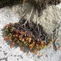 fleurs de calcaire