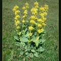 Gentiane Fleurs de montagnes jaunes Parc national du Mercantour Col D'allos