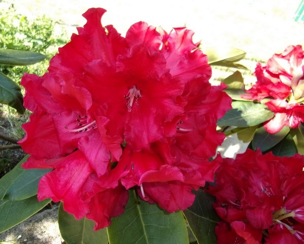 rhododendron_avril_2017