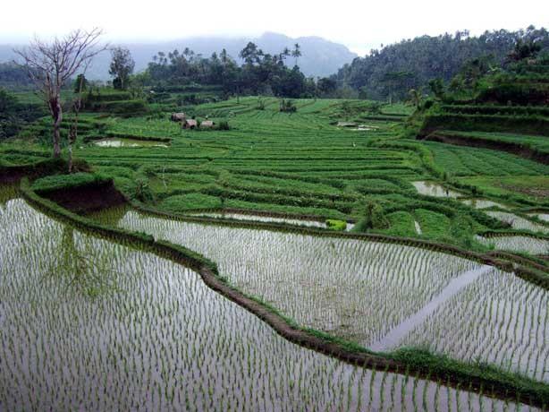 rizières-2