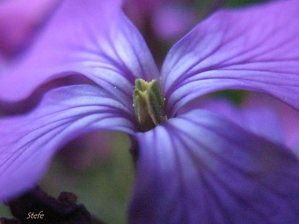 fleurs bleues (15)