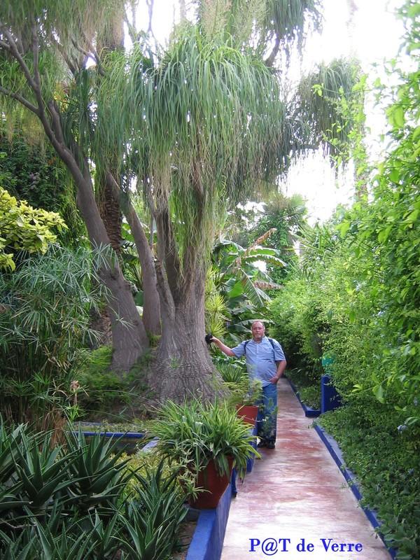Jardin majorelle palmiers bocarnea plantes exotiques 1 for Jardin que planter
