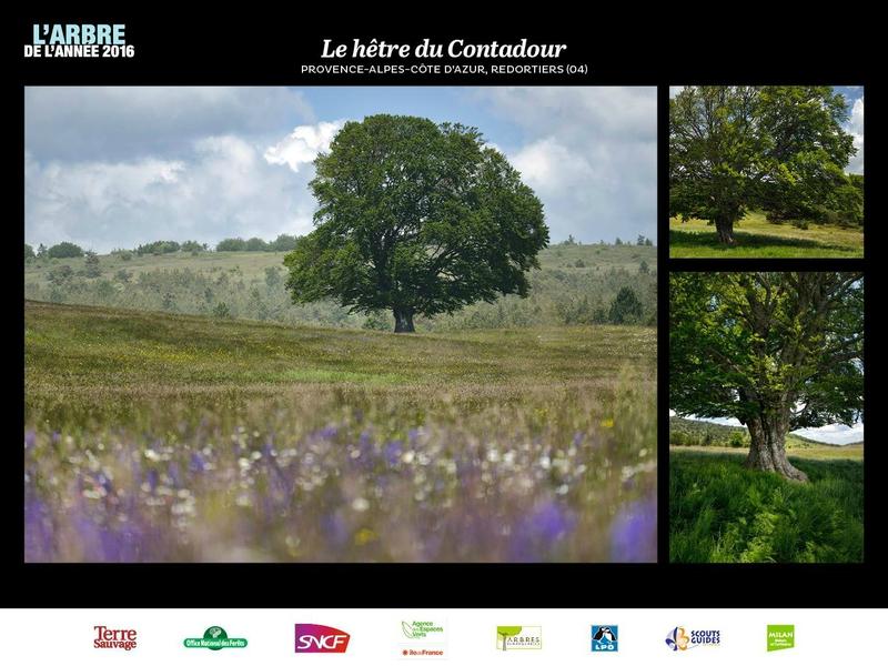 Hêtre du Contadour