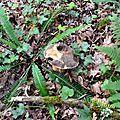 Cèpe noir dans un fond de bois humide...
