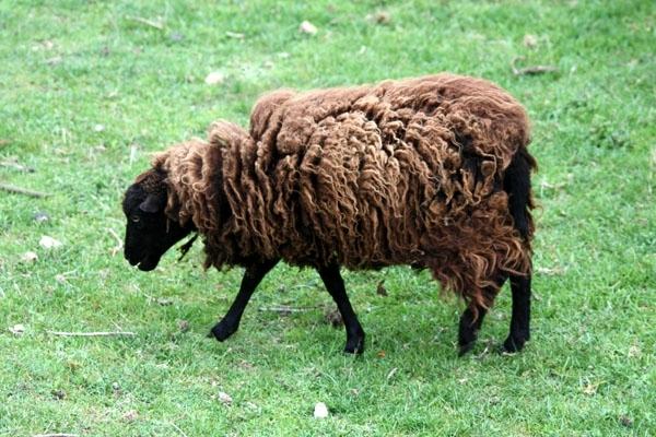 mouton-a