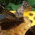 Morpho peleides • Morpheidae • Costa Rica - les ailes fermées à la mangeoire