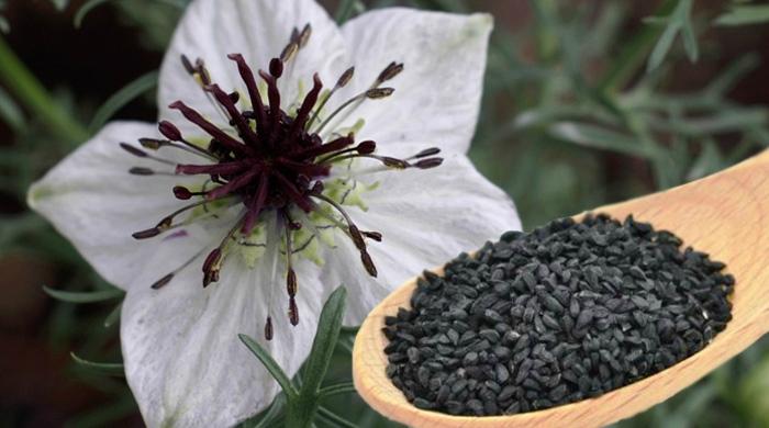 La nigelle les plantes oubli es for Plante nigelle