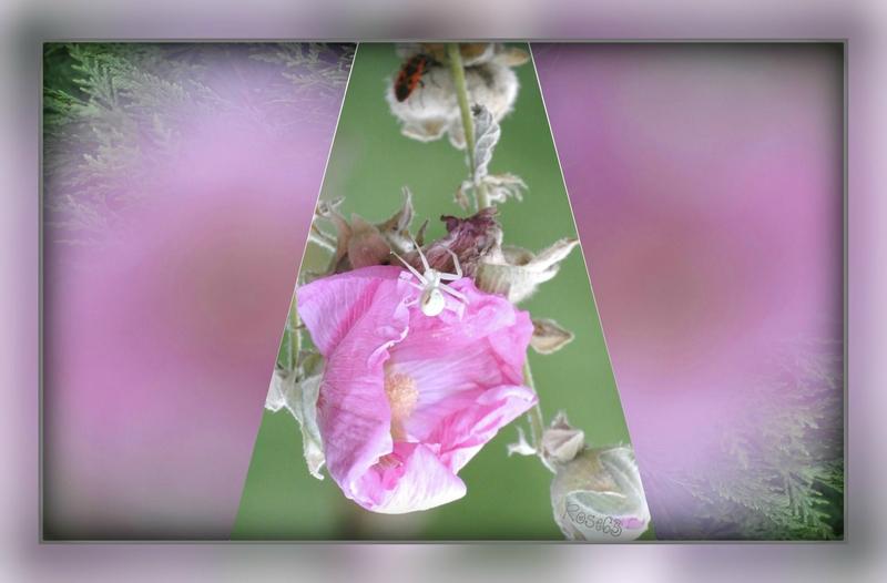 La vie est belle de bon matin Rose63