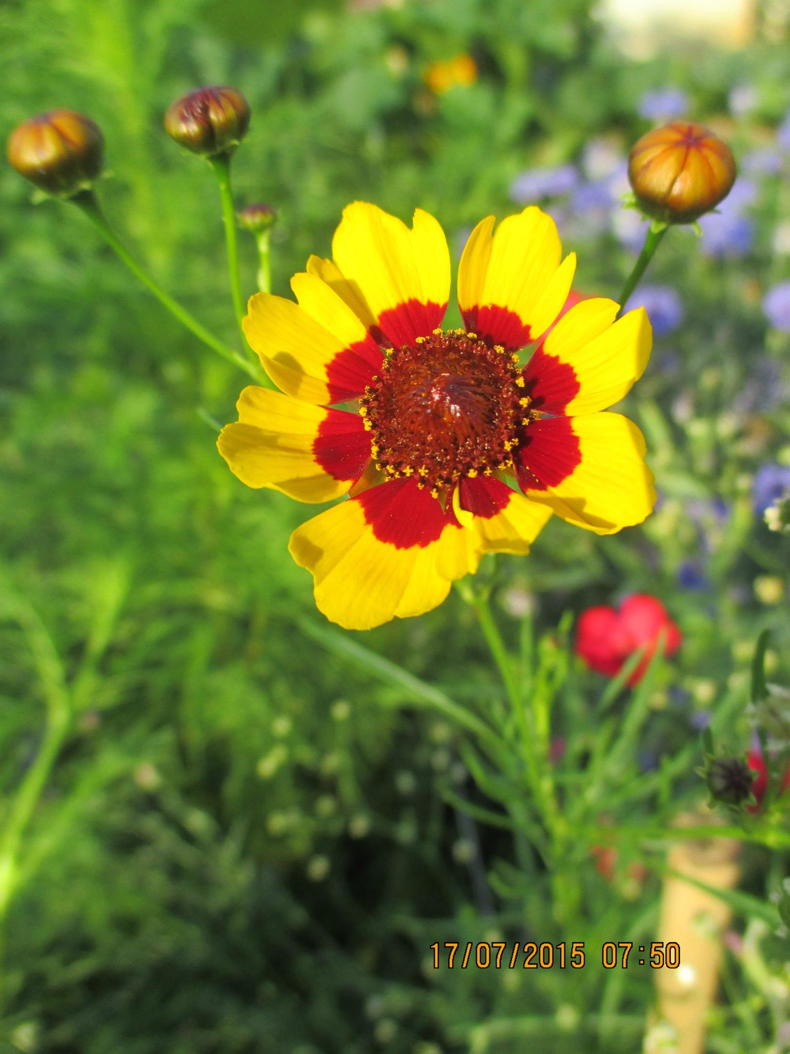 fleurs de ma prairie