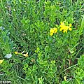 Une plante fourragère commune dans les prairies naturelles