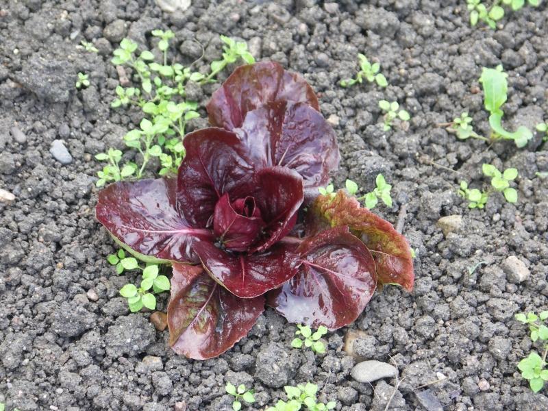 chicor e rouge de v rone photo de 79 des salades toute l 39 ann e le jardin de la motte. Black Bedroom Furniture Sets. Home Design Ideas