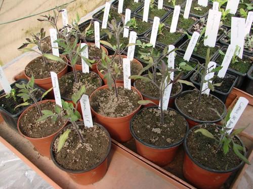 2008 04 05 Mes tomates sous serre aprés une gelé de -1,3°C