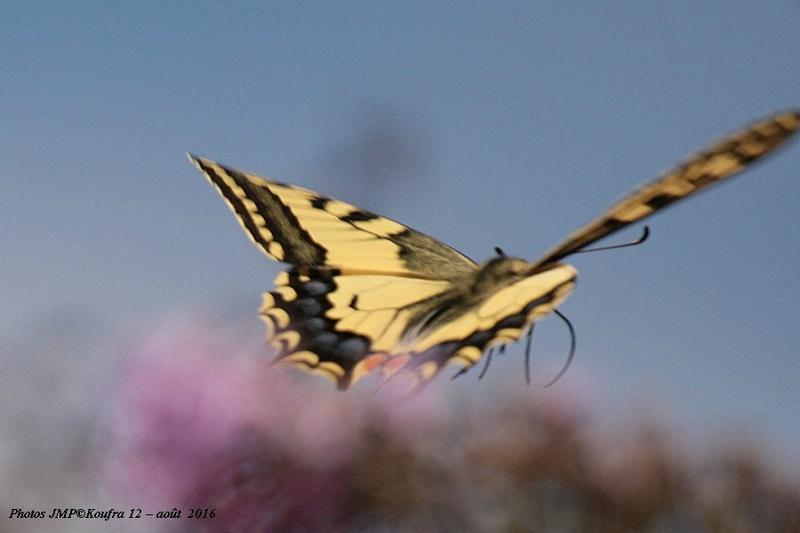 B - Photos JMP©Koufra 12 - Papillons - 30 aout 2016 - 0037 - 001