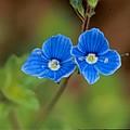 véronica fleur