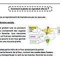 Sciences : de la graine à la plante - croissance des végétaux - cycle 3