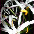 Fleur de crinum mauritianum