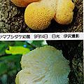 Hericium erinaceum IOH p 433 Izawa