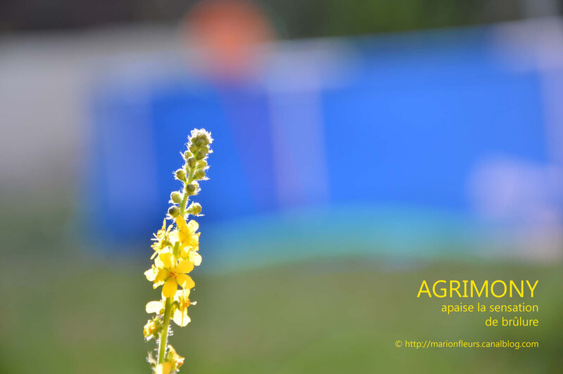 Agrimony 4 ; marionfleurs