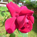 Rose 'Red parfum'