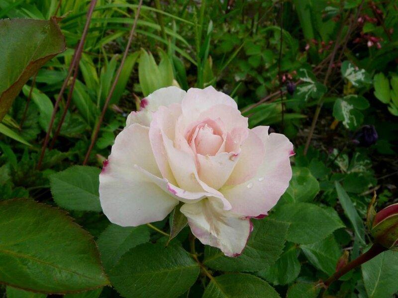 05 - rosier - Arditi