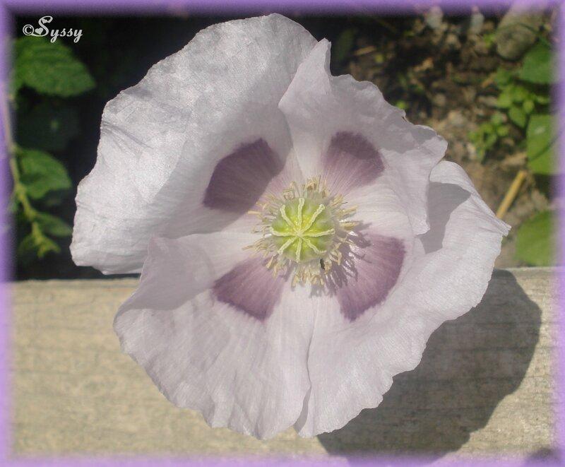 Pavot fleur simple violet