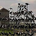 Corbeaux à saint-chamond : nuisance