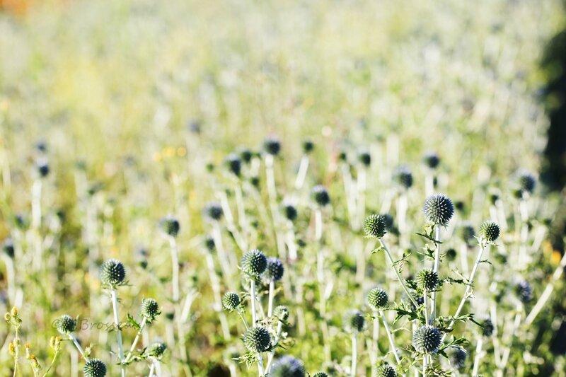 champ-fleur16-05