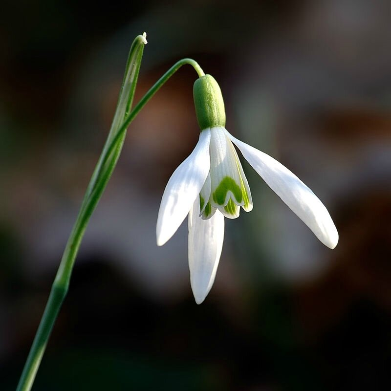 Photo-Galanthus_nivalis_close-up_aka