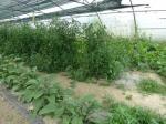 Aubergines et tomates