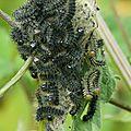 Petite Tortue - Aglais urticae (4)