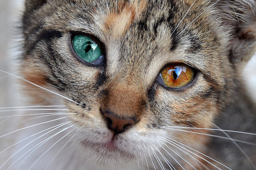 chat yeux vairon