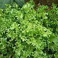 salade frisée (1)