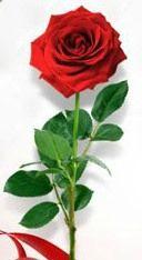 Rose Saint Valentin 2