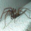 araignée du soir