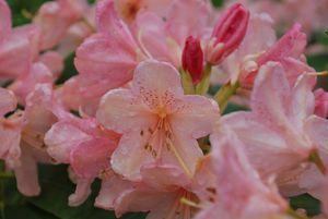 Fleur au jardin 2013 05 21 011