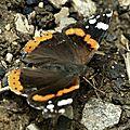 Papillons...le vulcain