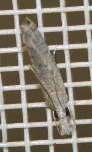 Tinidae sp