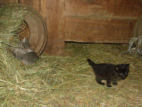 2008 06 18 Deux chatons de la mère sauvage des voisins dans notre grange