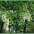Fleurs d'Acacia 060515