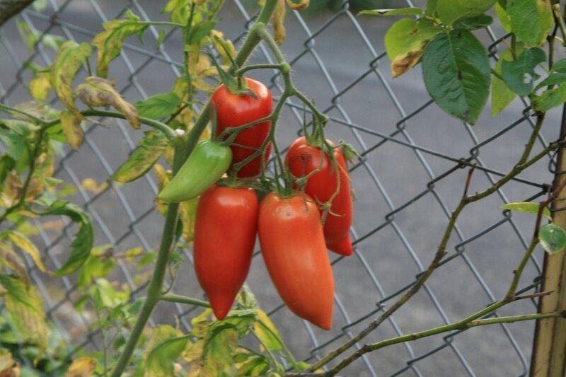 bilan-jardin-tomates