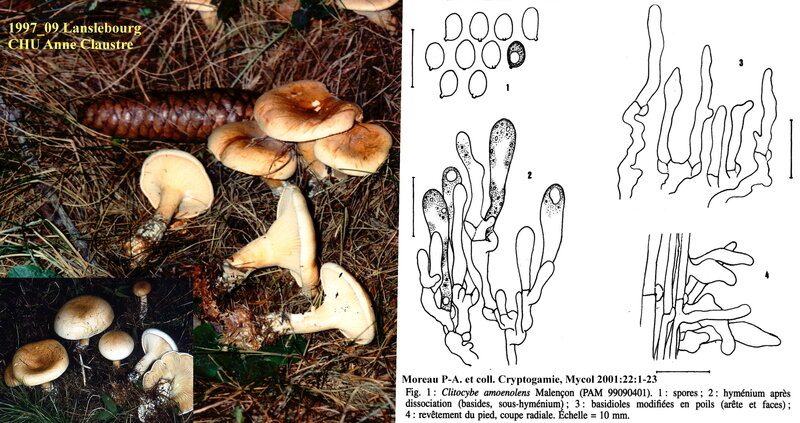 Clitocybe_amoenolens_1997_09_mont