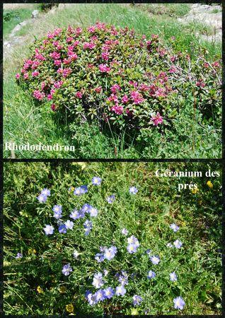 Rhododendron_g_ranium_des_pr_s