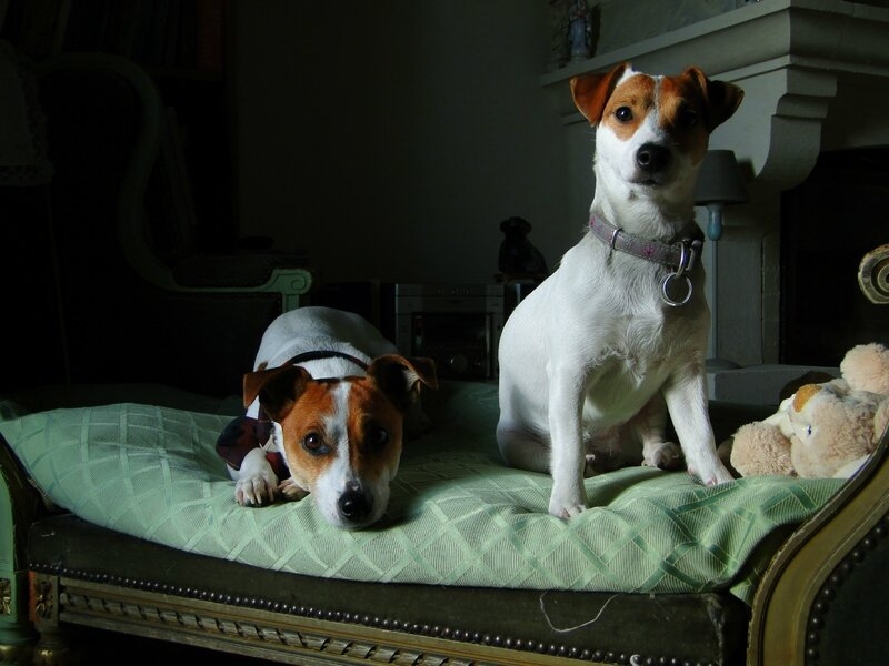 belles photos chiens jack russell valerie albertosi