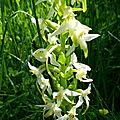 orchidée dans le Sancy