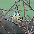 Mésange bleue (Cyanistes caeruleus)